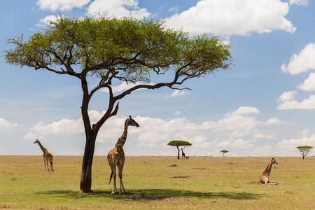 動物、自然、野生動物のコンセプト - アフリカでマサイ族マラ国立保護区サバンナにキリンのグループ 写真素材