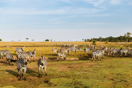 animal, nature and wildlife concept - herd of zebras grazing in maasai mara national reserve savannah at africa Stock Photo