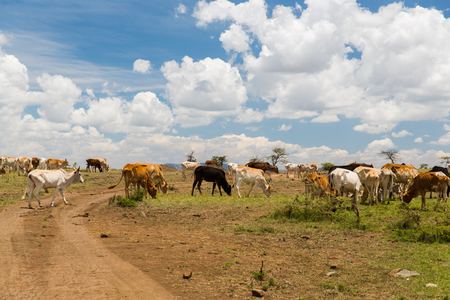 animal, nature and wildlife concept - cows grazing in savannah at africa Banco de Imagens