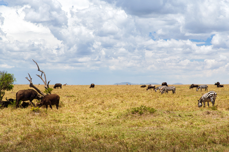 eating area: animal, nature and wildlife concept - group of different herbivore animals in maasai mara national reserve savannah at africa