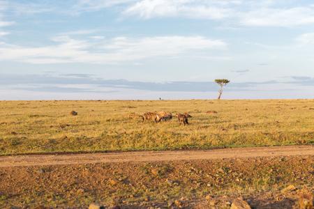 동물, 자연과 야생 동물 개념 - 하이에나 썩 고 먹는 먹는 또는 maasai 마라 국립 국가 예비 아프리카에서 사바나 일족
