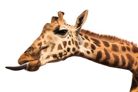 動物、自然、野生動物のコンセプト - キリンの舌を表示
