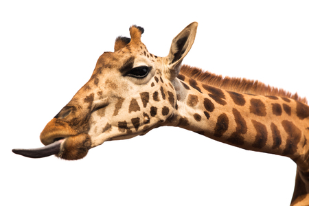 animal, nature and wildlife concept - giraffe showing tongue