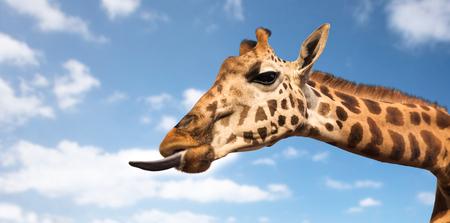 Concepto de animales, naturaleza y vida silvestre - girafa mostrando la lengua Foto de archivo - 81080182