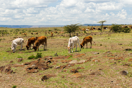 animal, nature and wildlife concept - cows grazing in savannah at africa Фото со стока