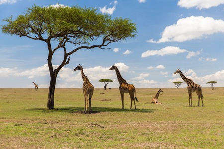 giraffes in savannah at africa Stock Photo