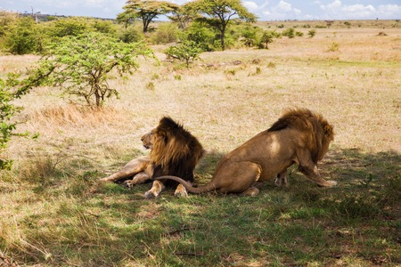 male lions resting in savannah at africa