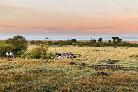 アフリカのサバンナで放牧シマウマの群れ
