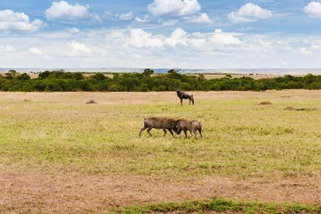 animal, nature and wildlife concept - warthogs fighting in maasai mara national reserve savannah at africa
