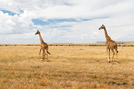 animal, nature and wildlife concept - giraffes in maasai mara national reserve savannah at africa Stock Photo