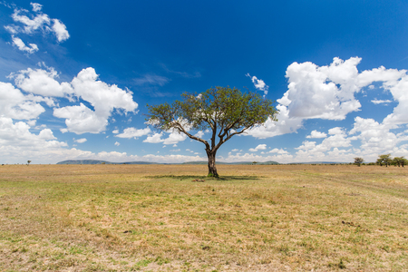 nature, landscape and wildlife concept - acacia tree in maasai mara national reserve savannah at africa Stock Photo