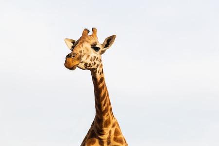 giraffe in africa 版權商用圖片