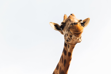giraffe in africa Stock Photo