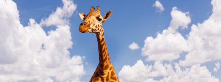 giraffe head over blue sky and clouds background