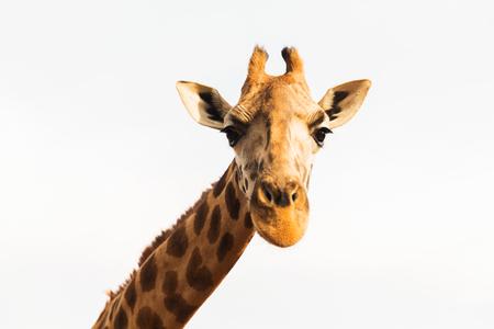giraffe in africa Фото со стока