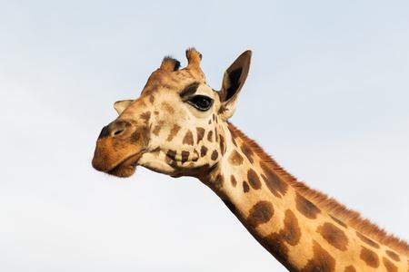 アフリカでキリン 写真素材