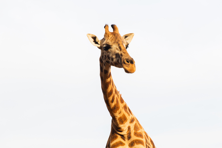 animal, nature and wildlife concept - giraffe in africa Stock Photo