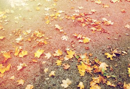 fallen autumn maple leaves on ground