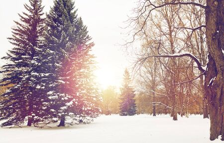 winter forest or park with fir trees and snow