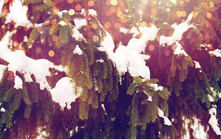fir branch and snow in winter forest