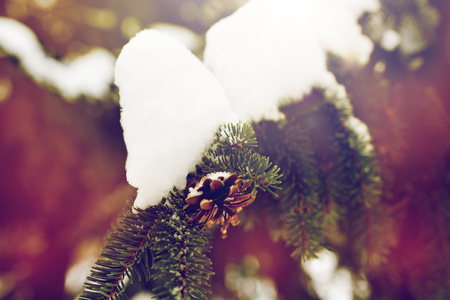 season, wild nature and christmas concept - fir branch with snow and cone in winter forest Фото со стока