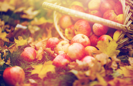 farming, gardening, harvesting and people concept - close up of wicker basket with ripe red apples at autumn garden