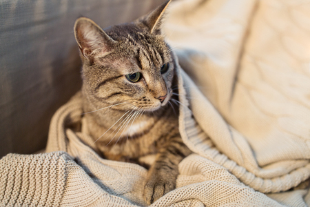 tabby cat lying on blanket at home in winter Stock Photo