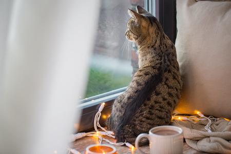 自宅で窓を通して見ているタブビー猫 写真素材