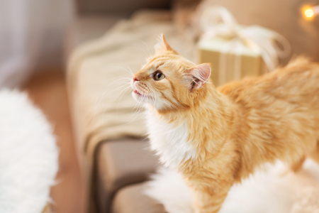 pets, christmas and hygge concept - red tabby cat on sofa with present at home in winter Stock Photo