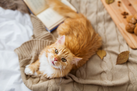 pets, hygge and domestic animal concept - red tabby cat lying on blanket at home in autumn Stock Photo