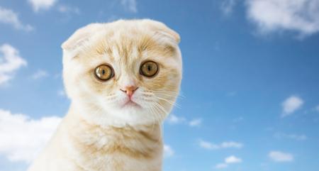 close up of scottish fold kitten Standard-Bild