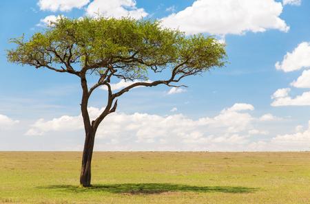 acacia tree in african savanna