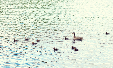 duck with ducklings swimming in lake or river Banco de Imagens - 100739927