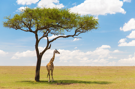 giraffe under a tree in african savanna