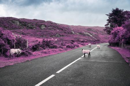 surreal purple sheep grazing on road in ireland Stock Photo
