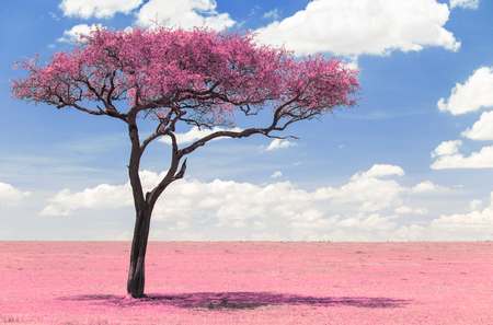 pink acacia tree in savanna with infrared effect