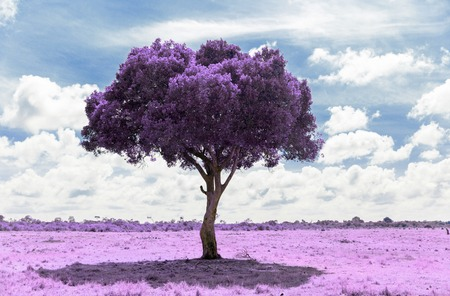 purple acacia tree in savanna with infrared effect