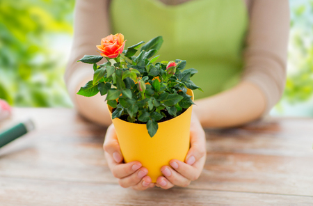 gardener hands holding flower pot with rose