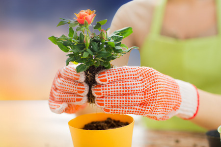 gardening and people concept - close up of woman or gardener hands planting rose to flower pot over sky background