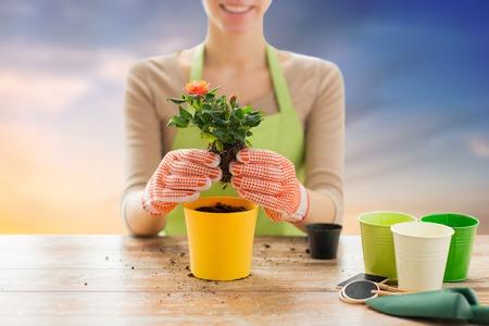 close up of woman planting rose to flower pot Banco de Imagens