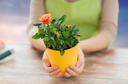 gardener hands holding flower pot with rose Stock Photo - 102956201