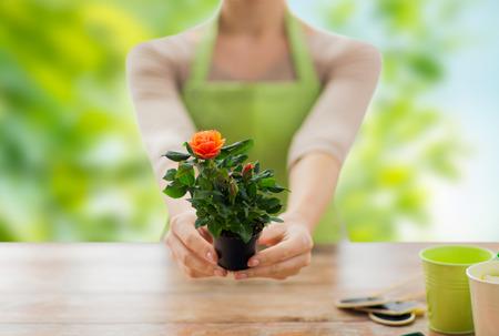 gardener hands holding flower pot with rose