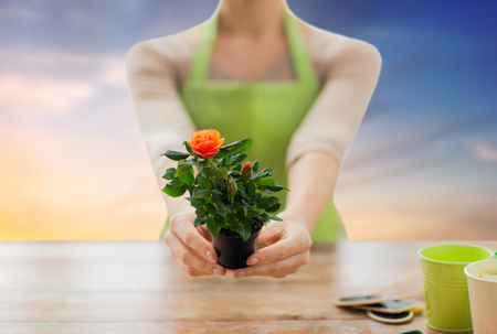 gardening, planting and people concept - close up of female gardener hands holding flower pot with rose over sky background