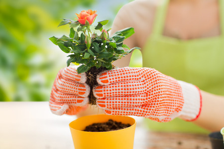 gardening and people concept - close up of woman or gardener hands planting rose to flower pot over green natural background