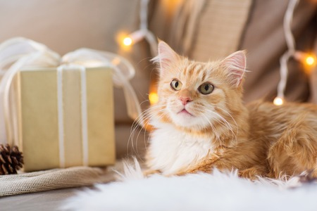 pets, christmas and hygge concept - red tabby cat on sofa with present at home in winter 写真素材