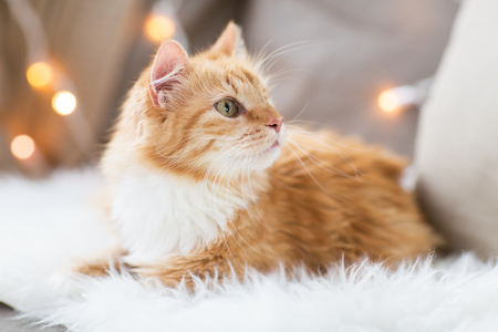 red tabby cat on sofa with sheepskin at home Stock fotó