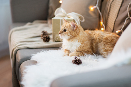 red tabby cat on sofa with christmas gift at home