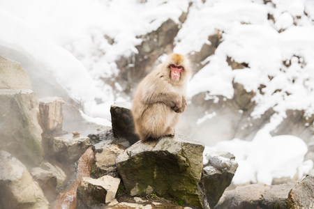 japanese macaques or snow monkeys at hot spring