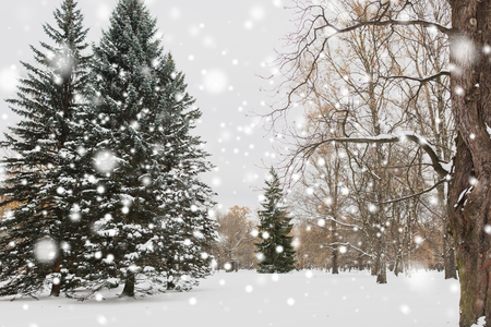 season, nature, landscape and christmas concept - winter forest or park with fir trees and snow