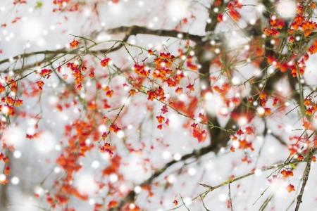 Natur- und Umweltkonzept - Spindelbaum oder Euonymus hamiltonianus Zweig mit Früchten im Winter